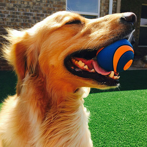 Pet golden retriever with a ball on green SYNLawn artificial turf