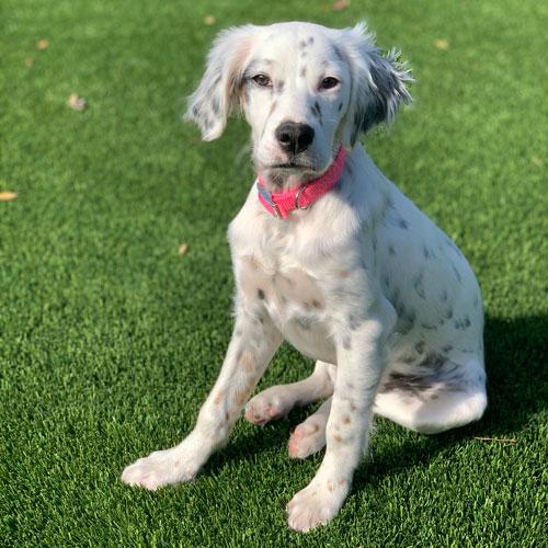 Pet Dalmation Dog on green SynLawn artificial turf